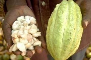 Kakavova zrna
